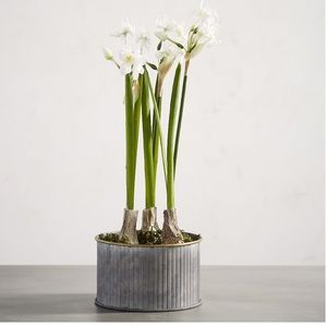 Pottery Barn Faux Potted Paperwhites